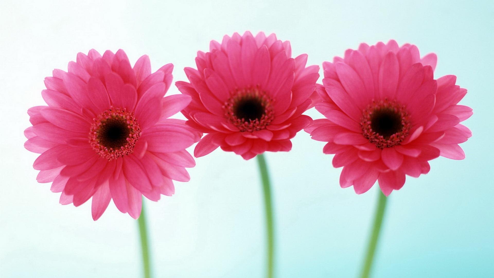 Three-pink-daisies